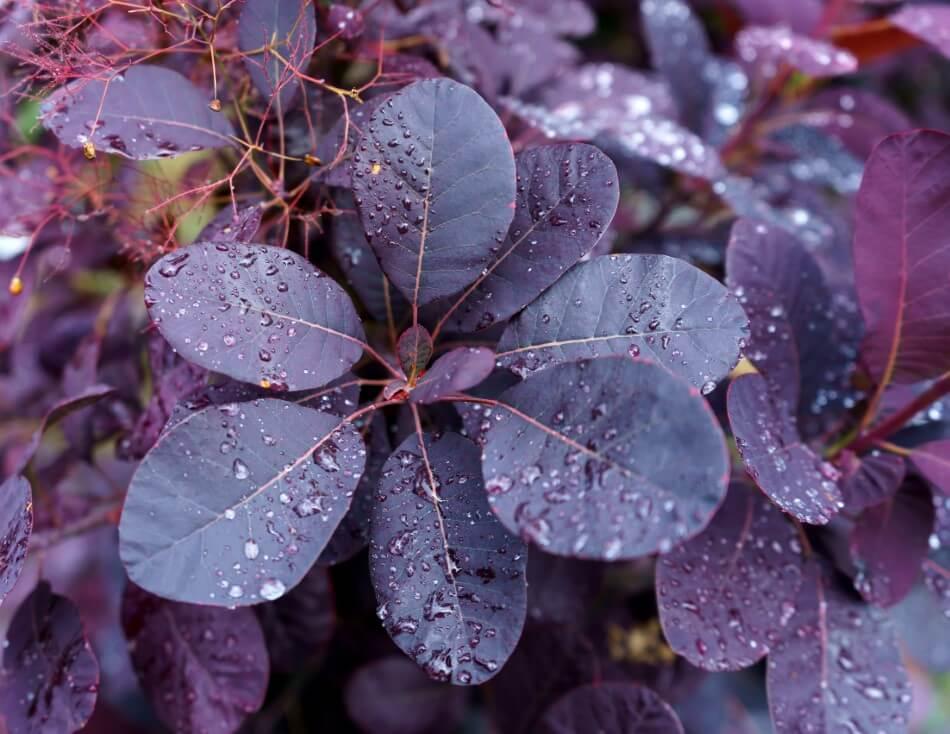 Smoke Bush (Cotinus coggygria 'Royal Purple')