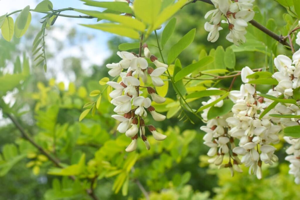 The Cultural Significance of Acacia Flowers