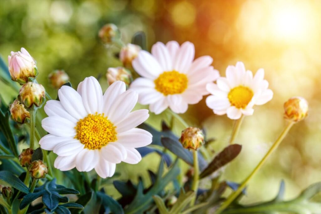 The Cultural Significance of Chamomile Flowers