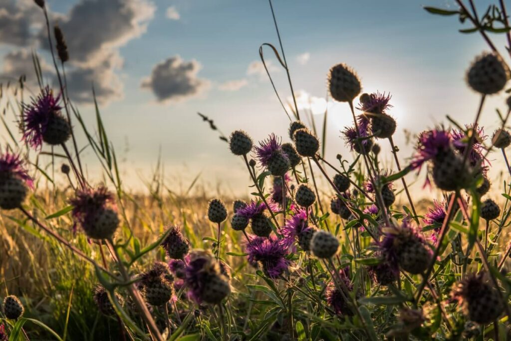 The Meaning, Symbolism, and Cultural Significance of Thistle Flowers