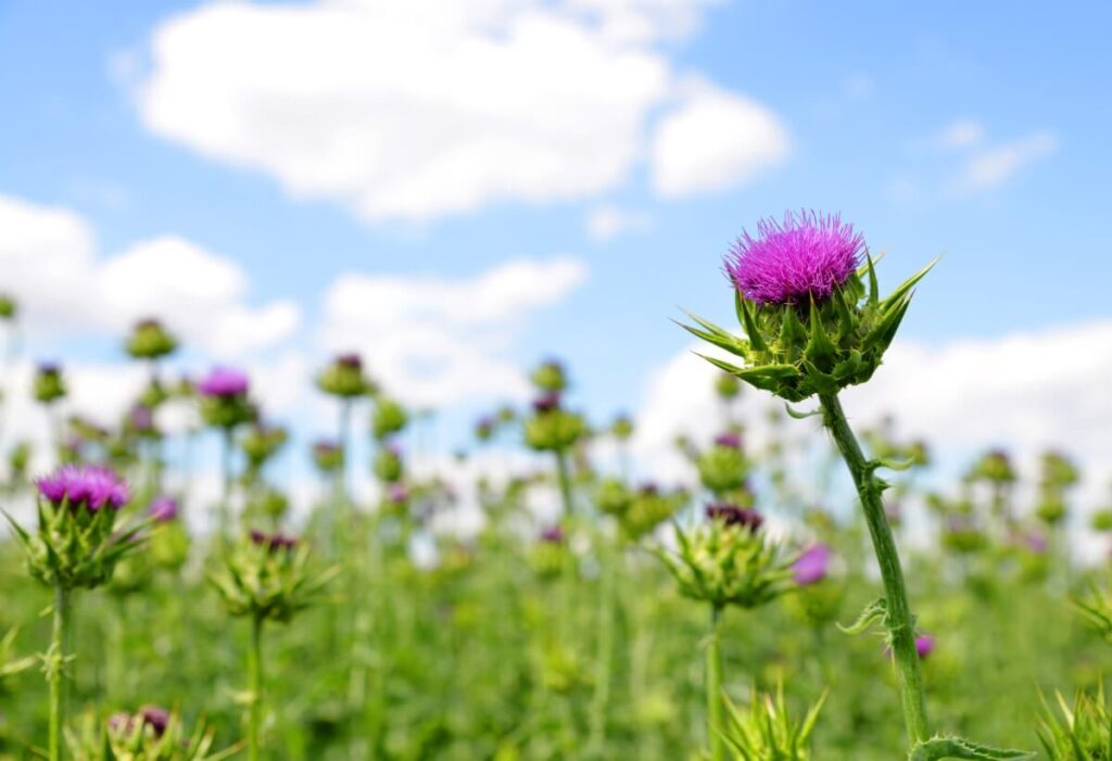 Thistle Flowers and French Legends