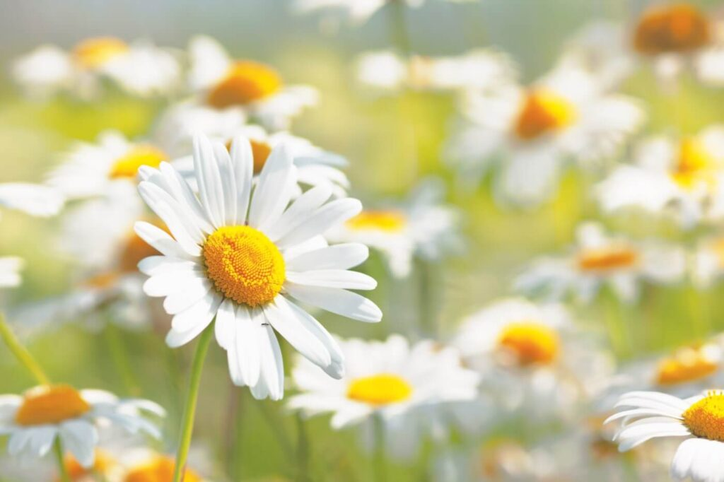 Ultimate Guide to Chamomile Flower Meaning & Symbolism