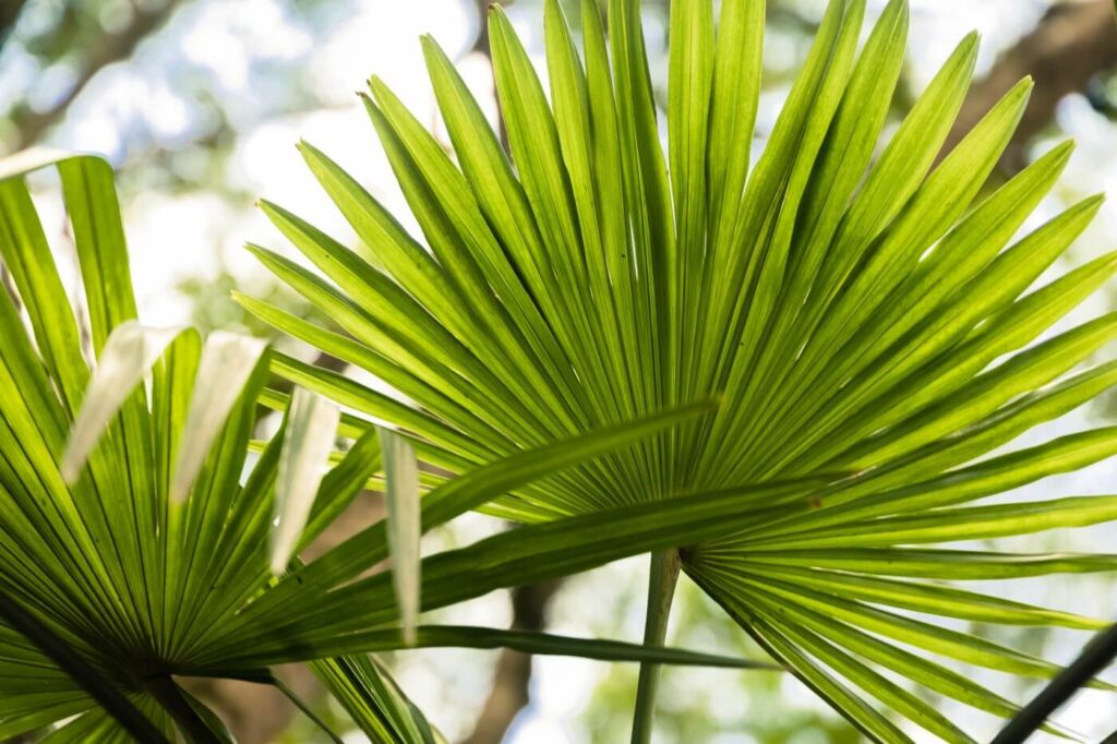 Ultimate Guide to Chinese Fan Palm Care at Home
