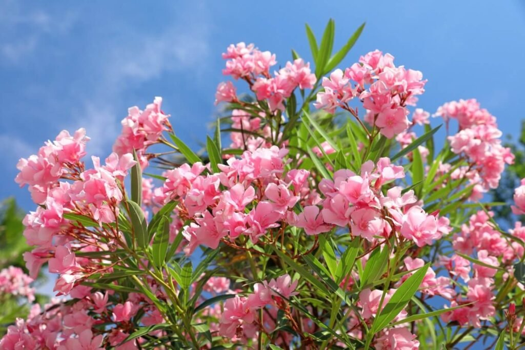 Ultimate Guide to Oleander flower (Nerium) Meaning & Symbolism