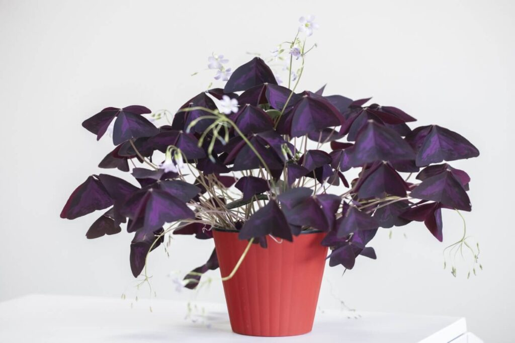 Ultimate Guide to Oxalis Triangularis Plant Care at Home