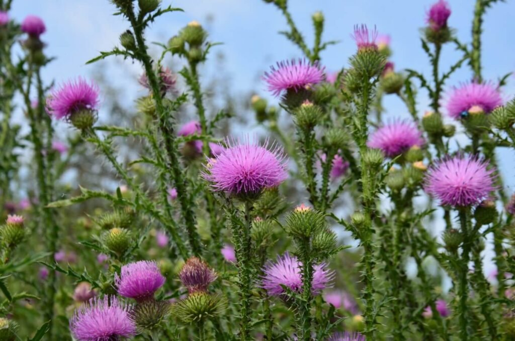 Ultimate Guide to Thistle Flower Meaning (Cirsium)