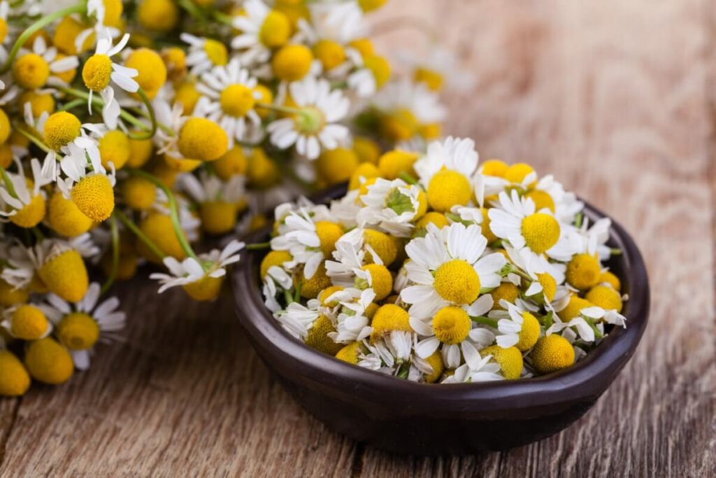 Uses and Benefits of Chamomile Flowers