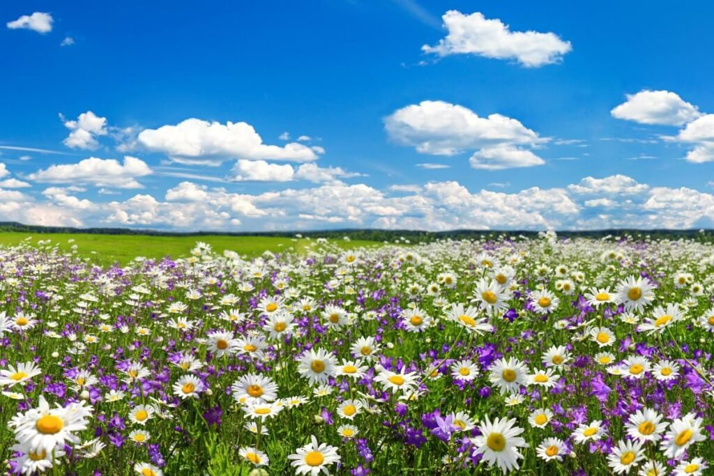 What regions are Chamomile Flowers native to?