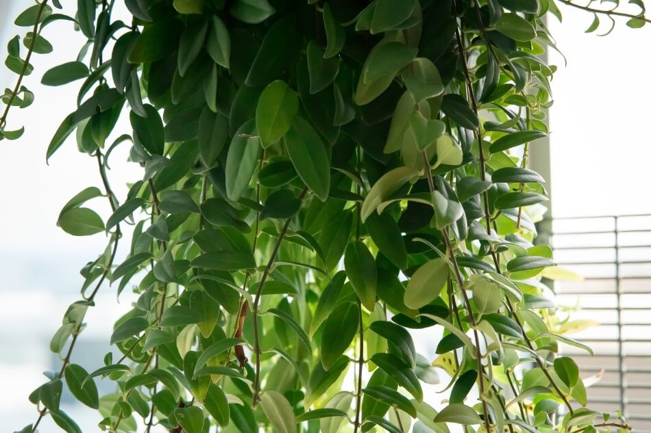 When and How to Prune Lipstick Plants