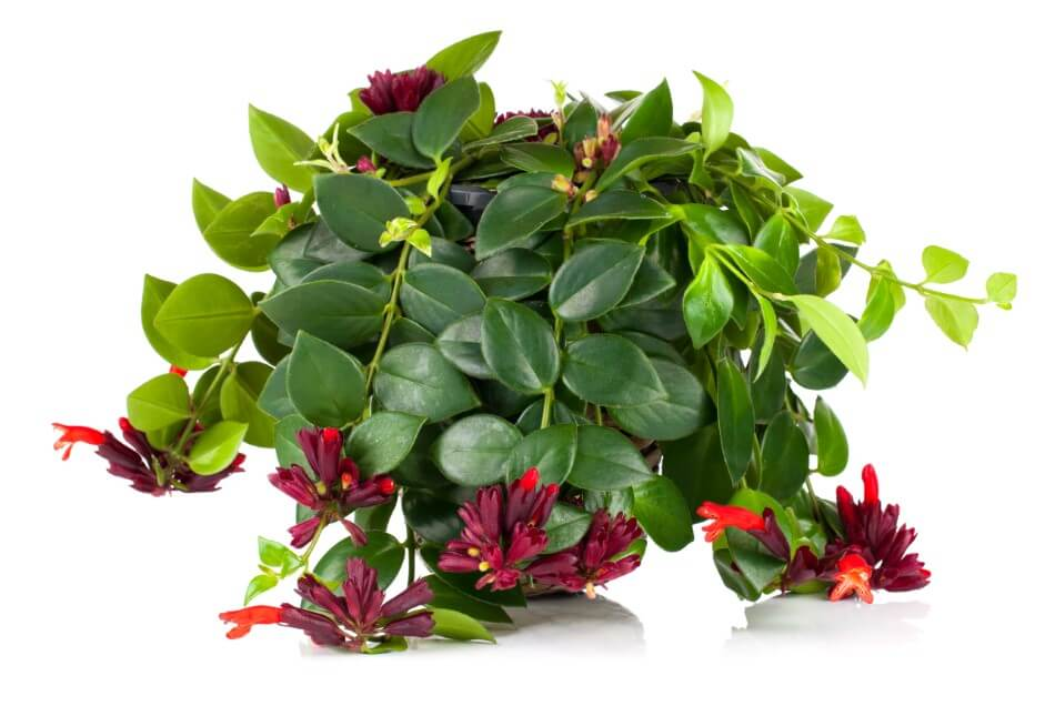 When and How to Repot a Lipstick Plant