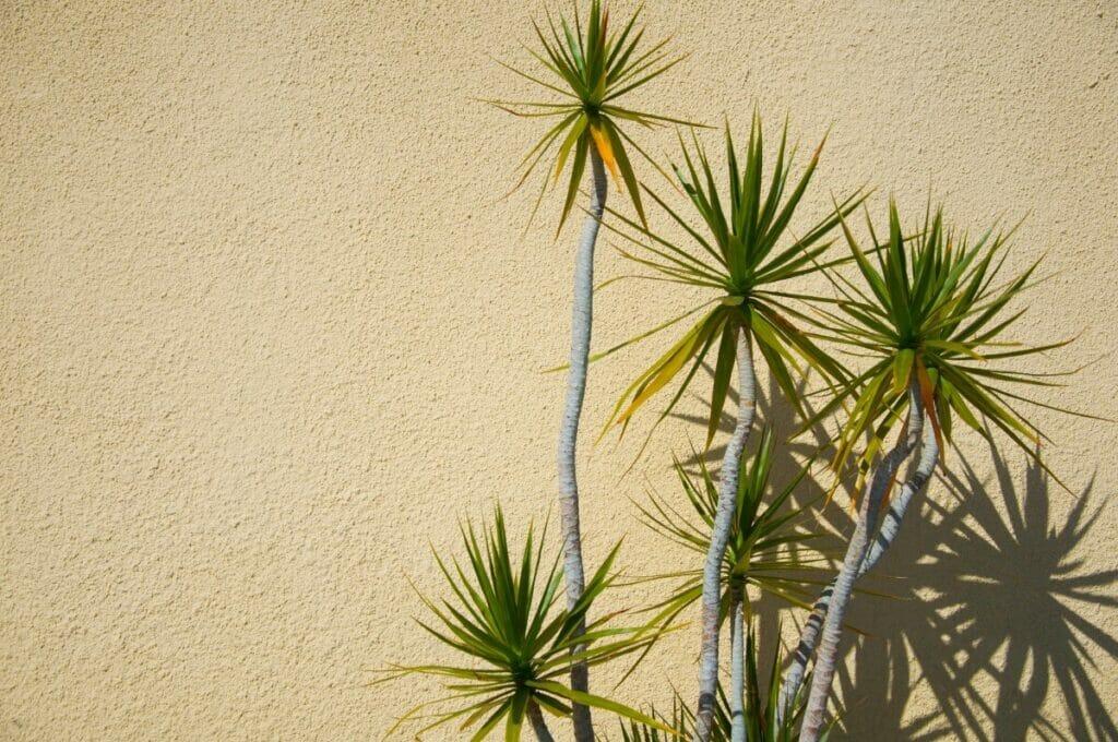Yucca Plant Light preferences
