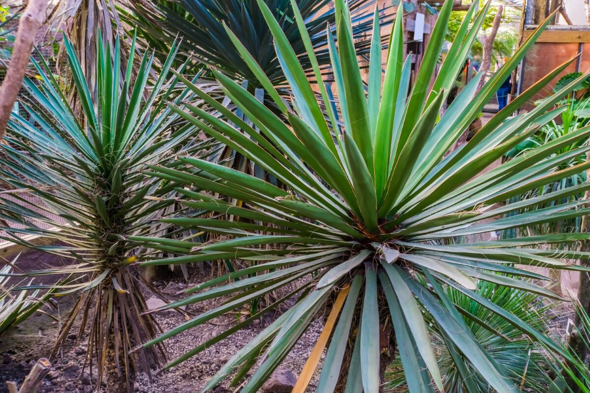 Yucca Plants - Uses & Benefits