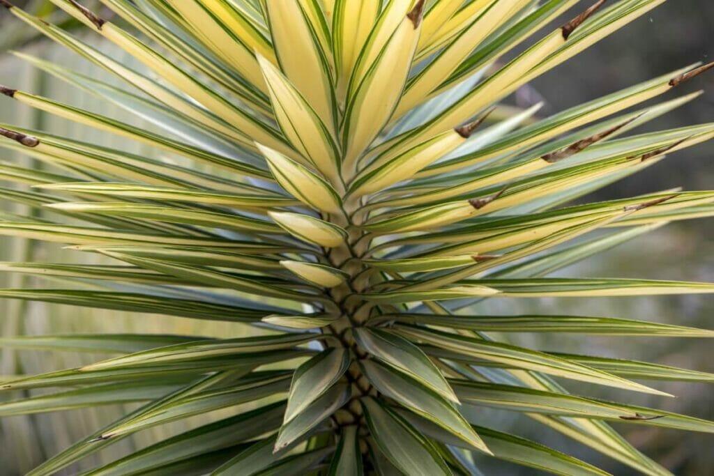 Yucca aloifolia (Aloe yucca)