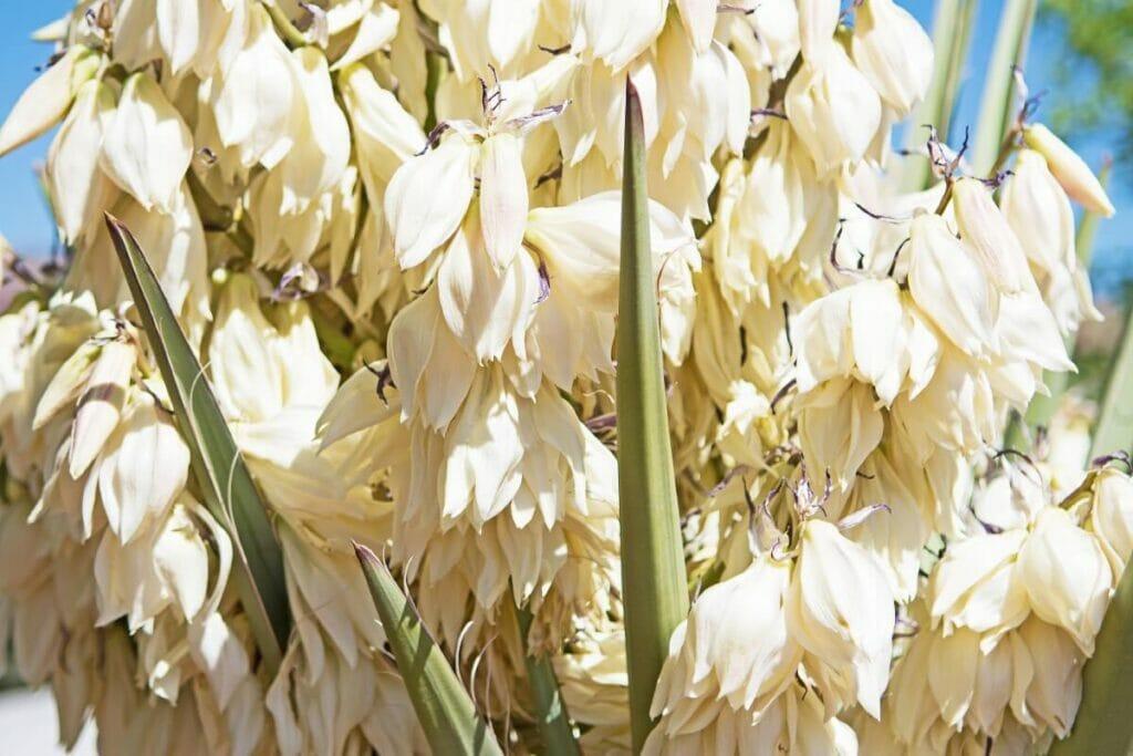 Yucca baccata (Banana yucca)