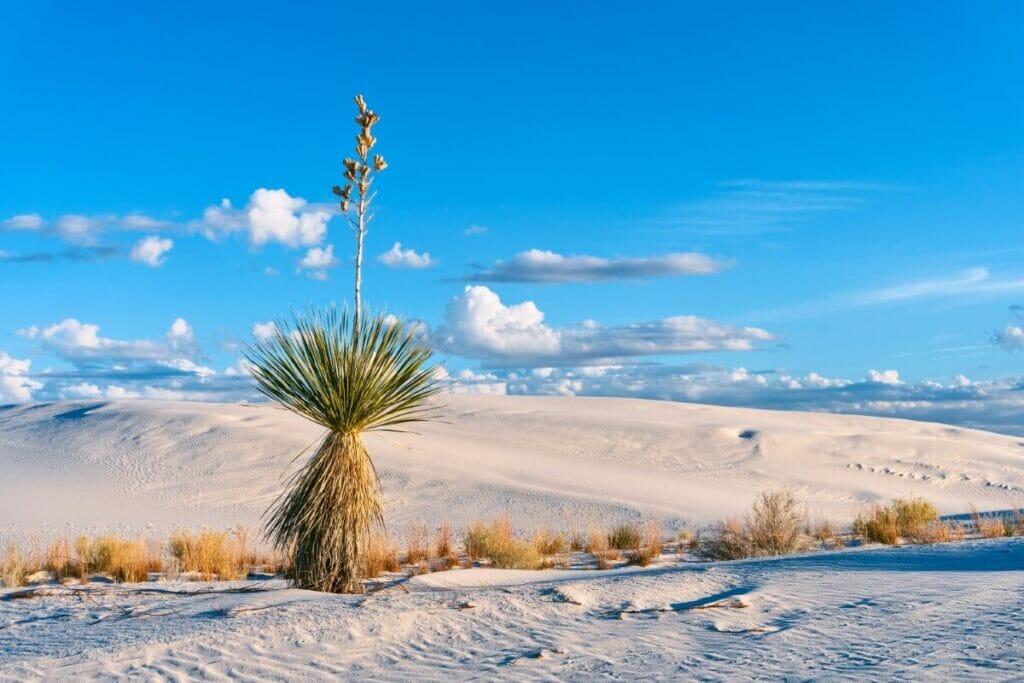 Yucca elata (Soaptree yucca)