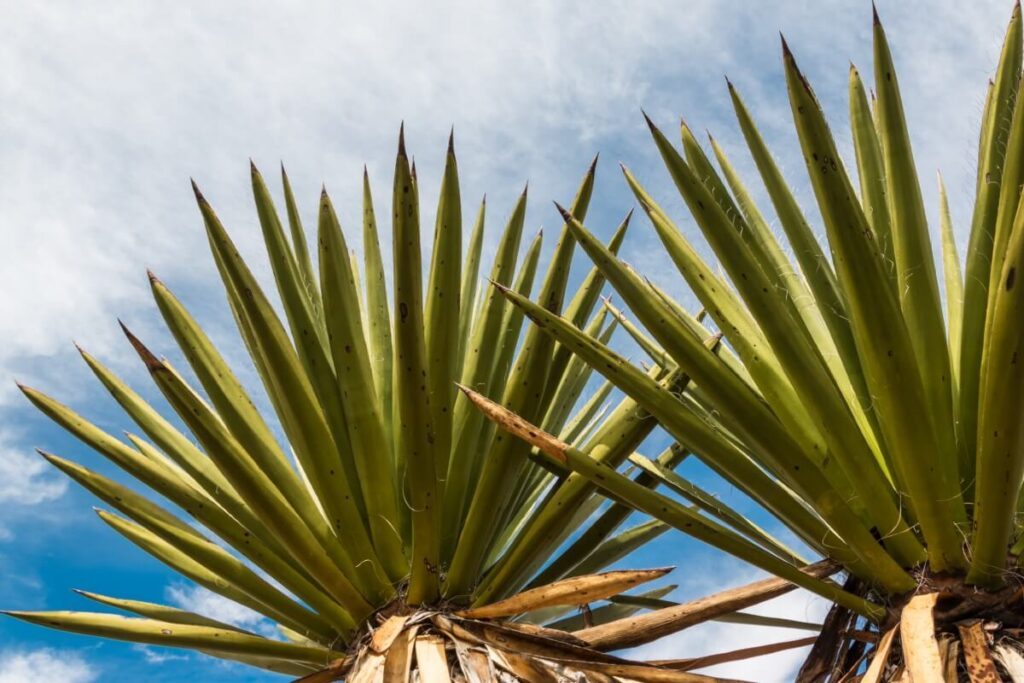 Yucca faxoniana (Giant white yucca)