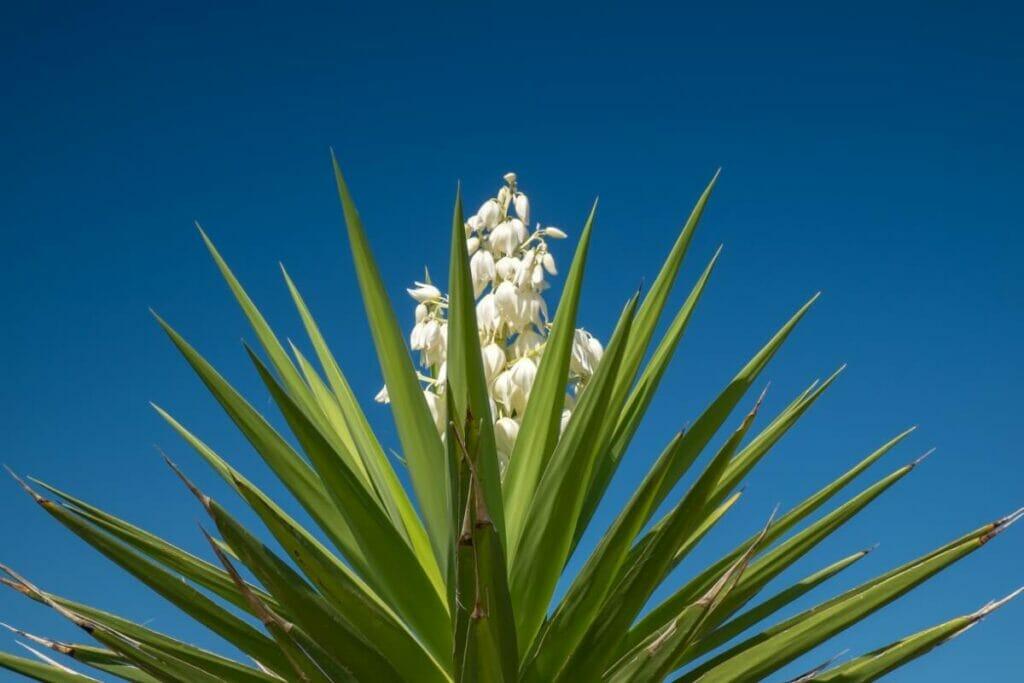Yucca glauca (Soapweed yucca plant)