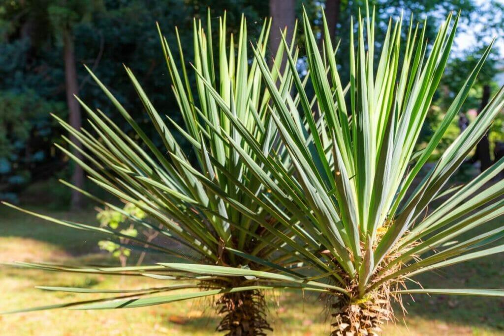 Yucca gloriosa (Spanish dagger)