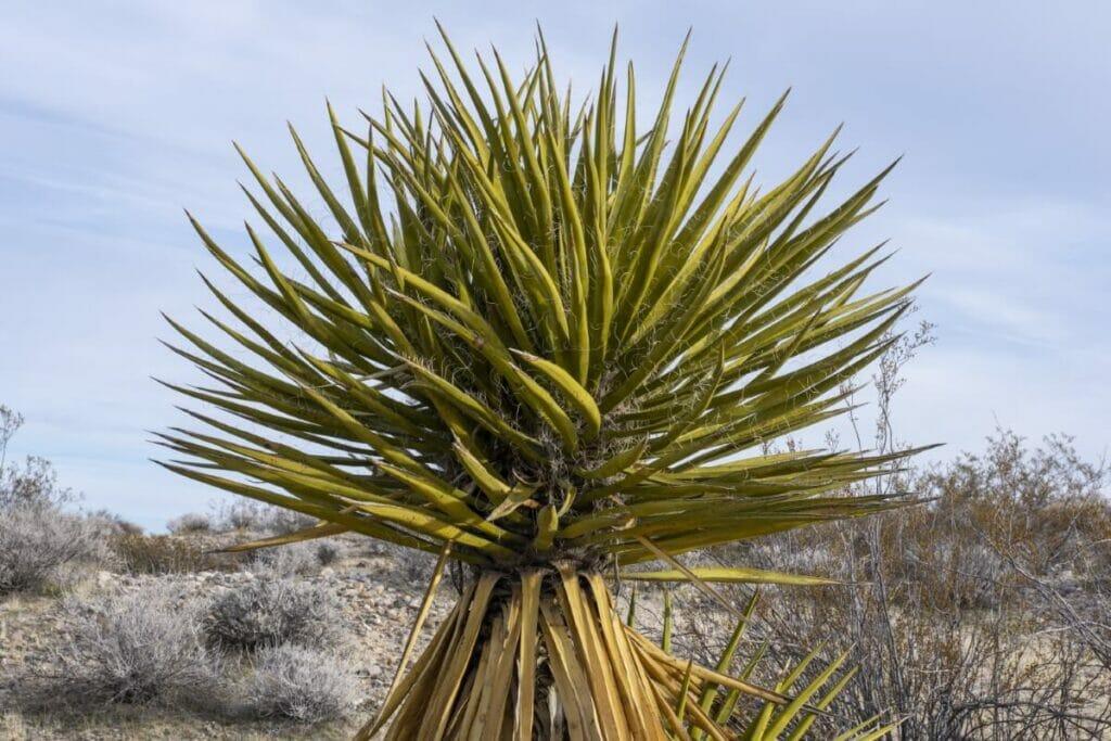 Yucca schidigera (Mojave yucca)