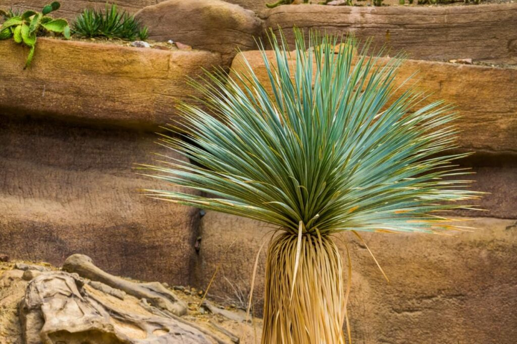 Yucca thompsoniana (Thompson's yucca)