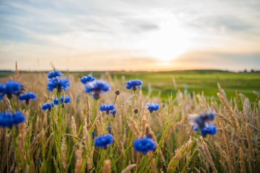 50 Best Types of Blue Flowers With Pictures & Names