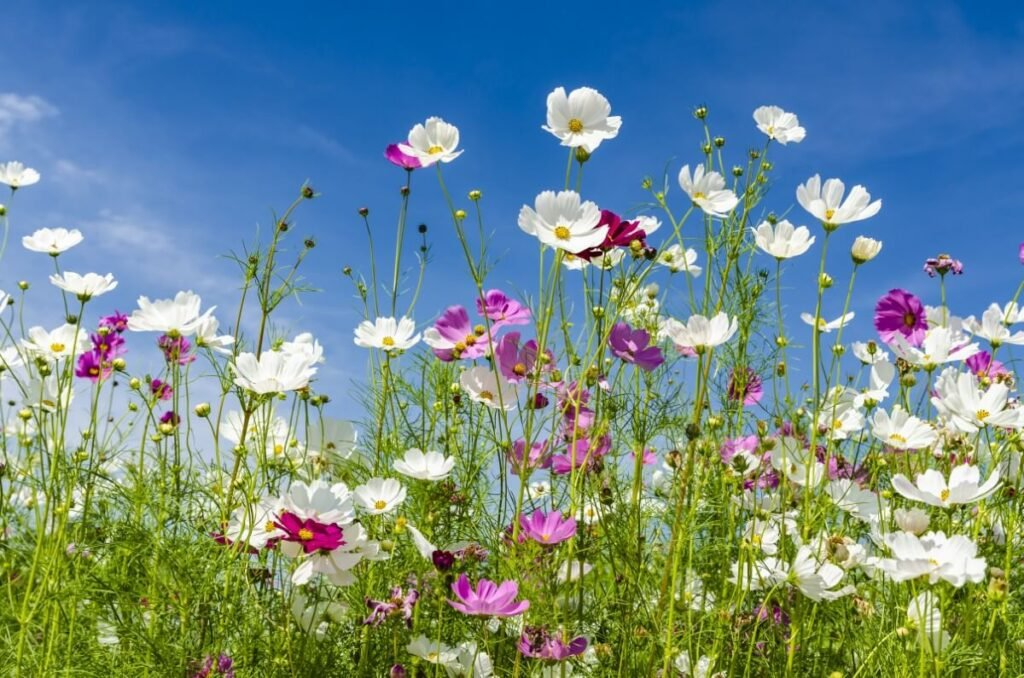 About Cosmos Flowers