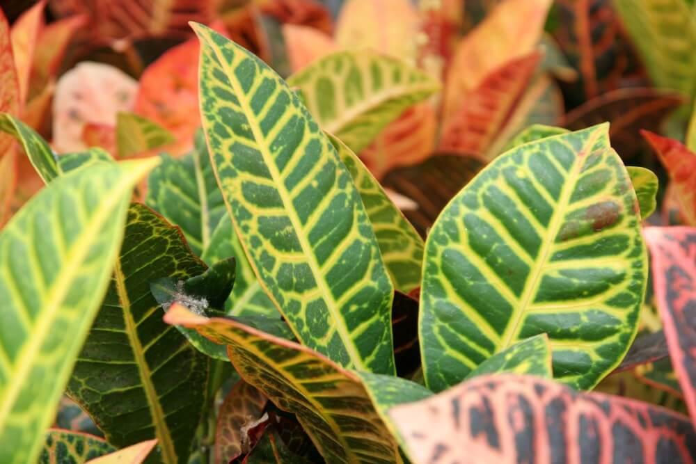 About Croton Plants