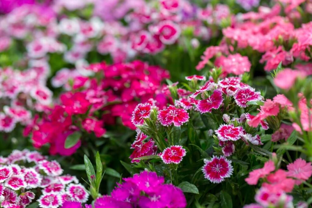 About Dianthus Flowers