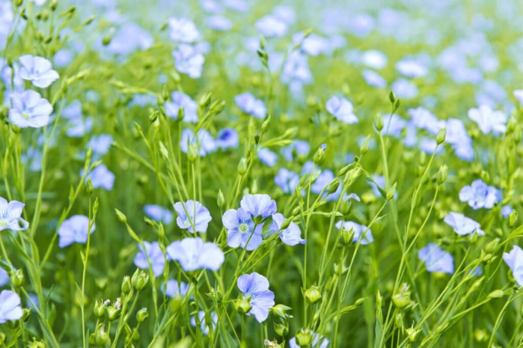 About Flax Flowers