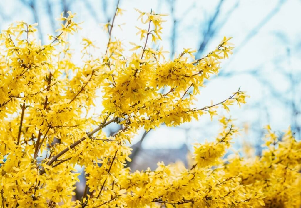 About Forsythia Flowers