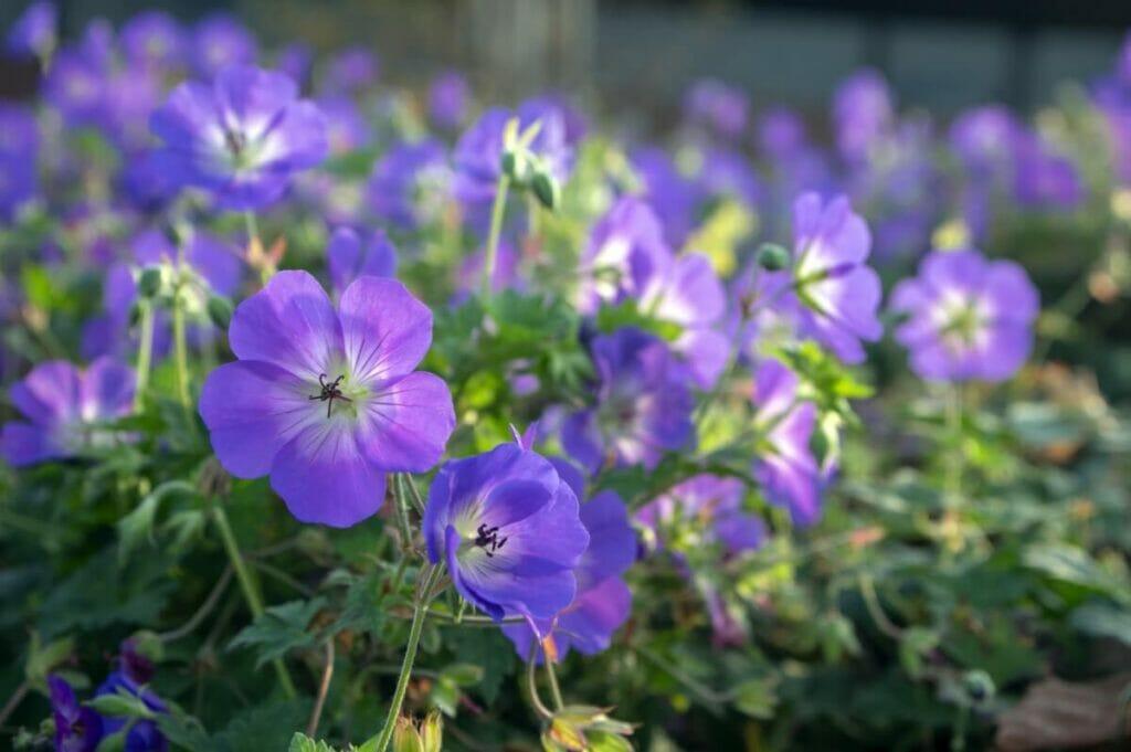 About Geranium Rozanne