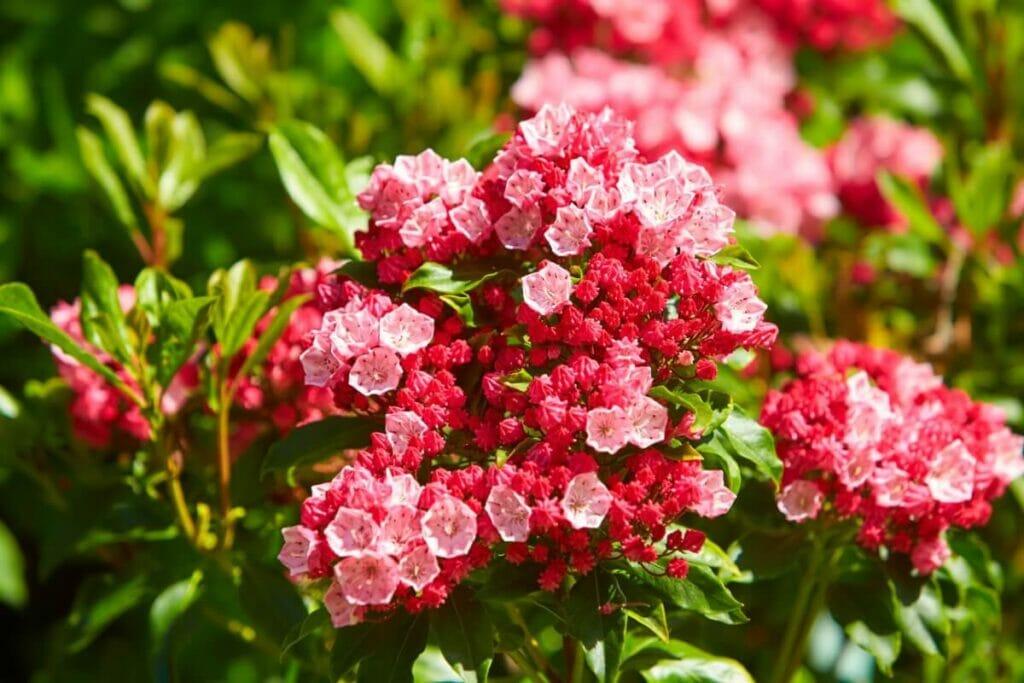 About Kalmia Flowers