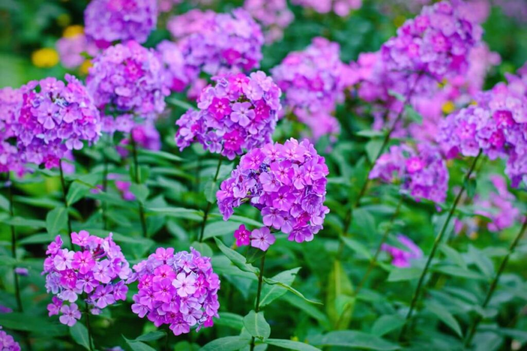 About Phlox Flowers