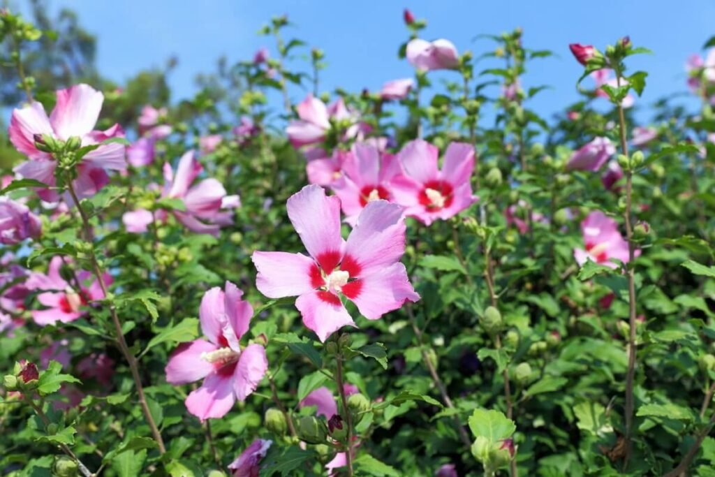 About Pink Hibiscus (syriacus)