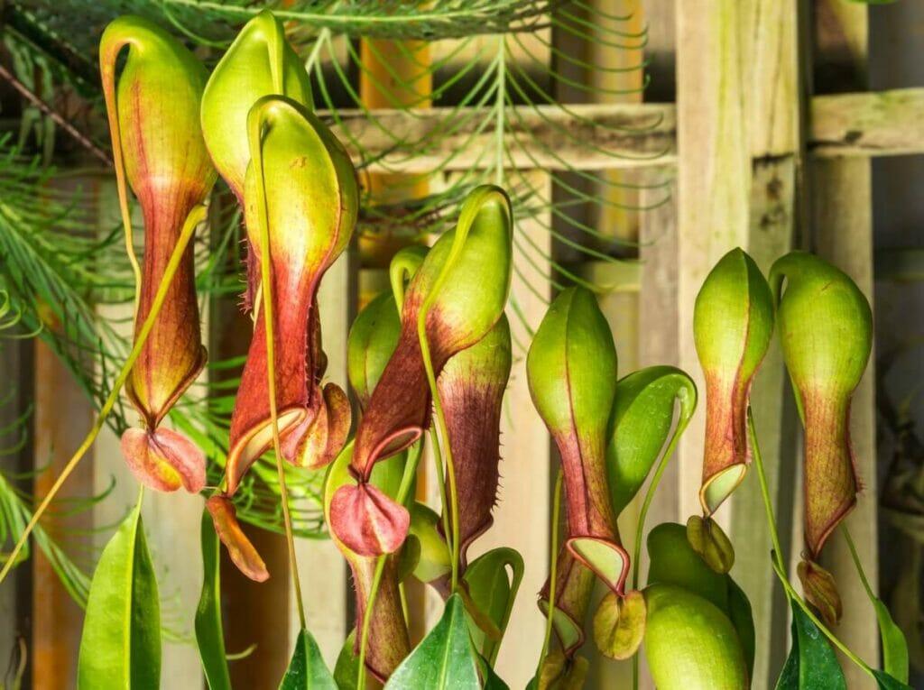 About Pitcher Plants