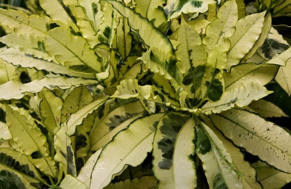 Andrew Croton (Codiaeum variegatum 'Andrew')