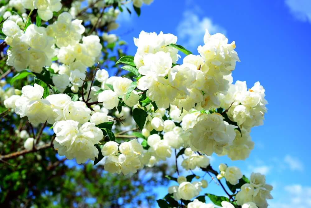 Are White Flowers More Fragrant Than Other Types of Flowers?