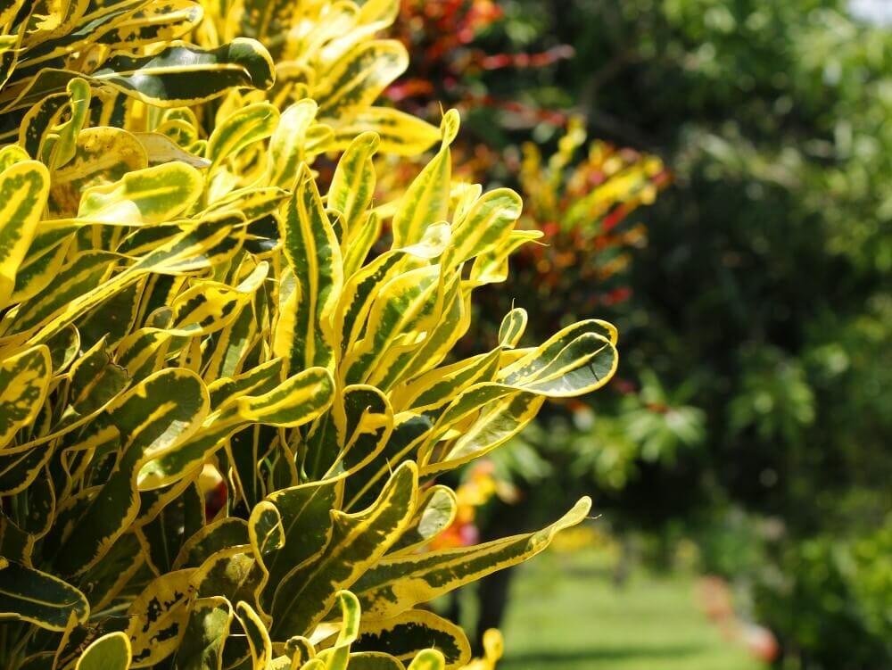 Banana Croton (Codiaeum variegatum 'Banana')