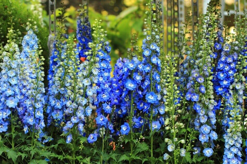 Blue Delphiniums (Delphinium)