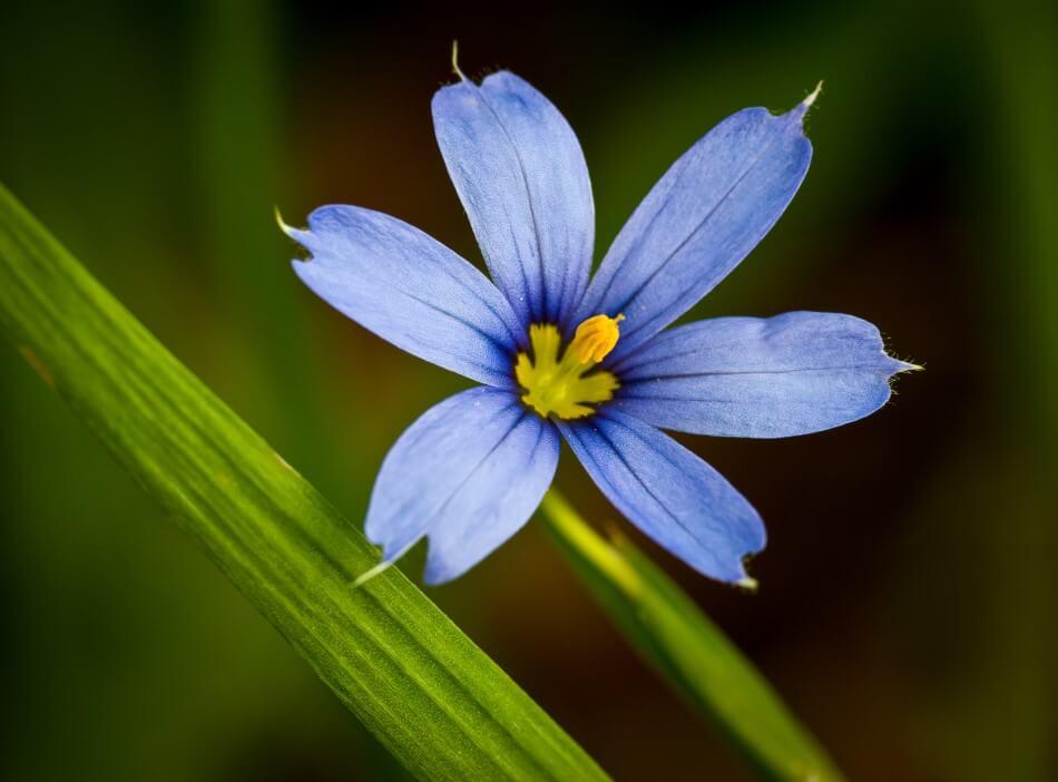 Blue-Eyed Grass (Sisyrinchium demissum)