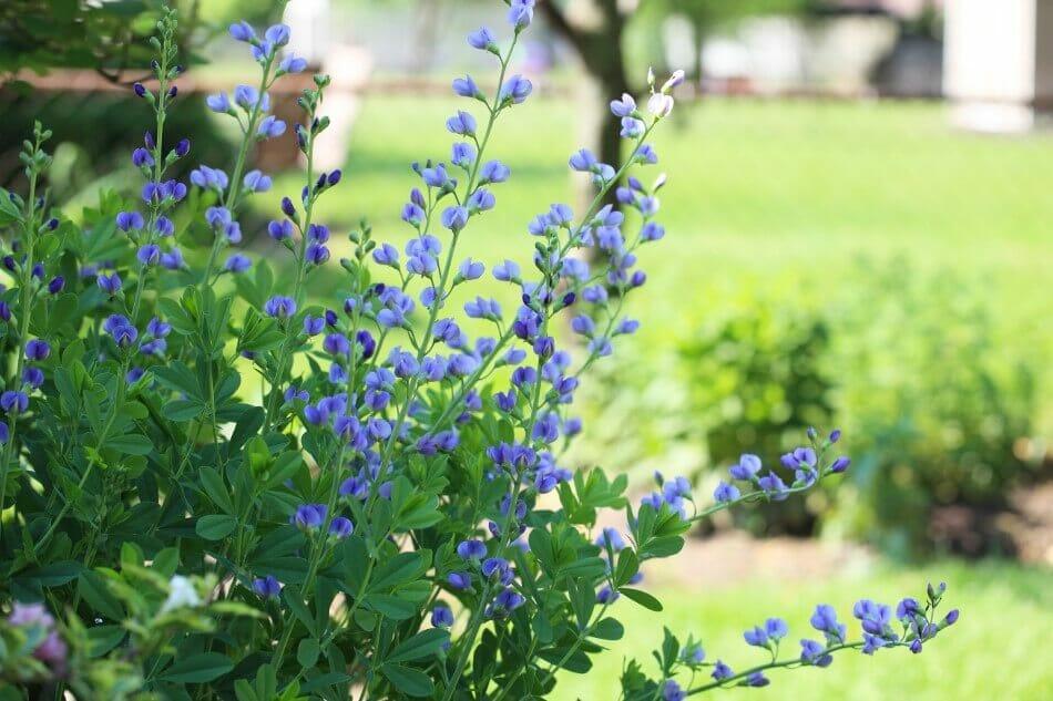 Blue False Indigo (Baptisia australis)