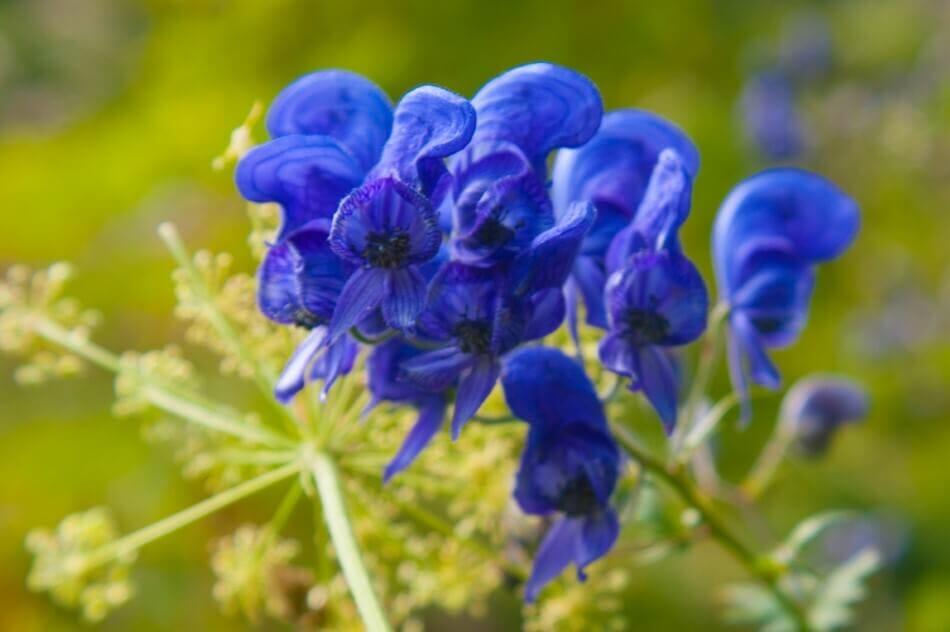 Blue Monkshood (Aconitum napellus)