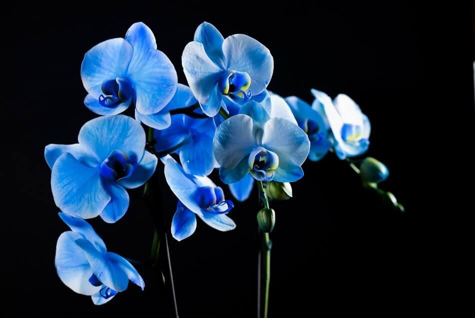Blue Mystique Orchids (Orchidaceae)