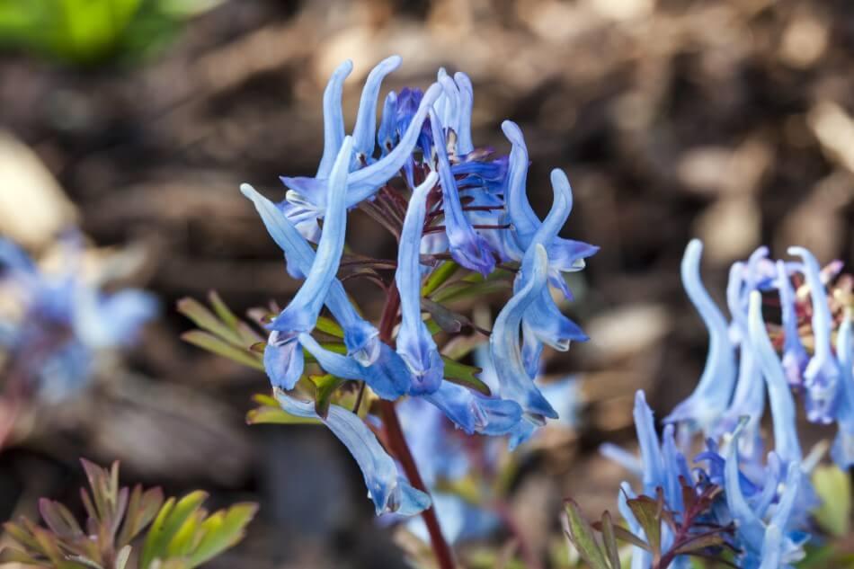 Blue corydalis (Corydalis flexuosa)