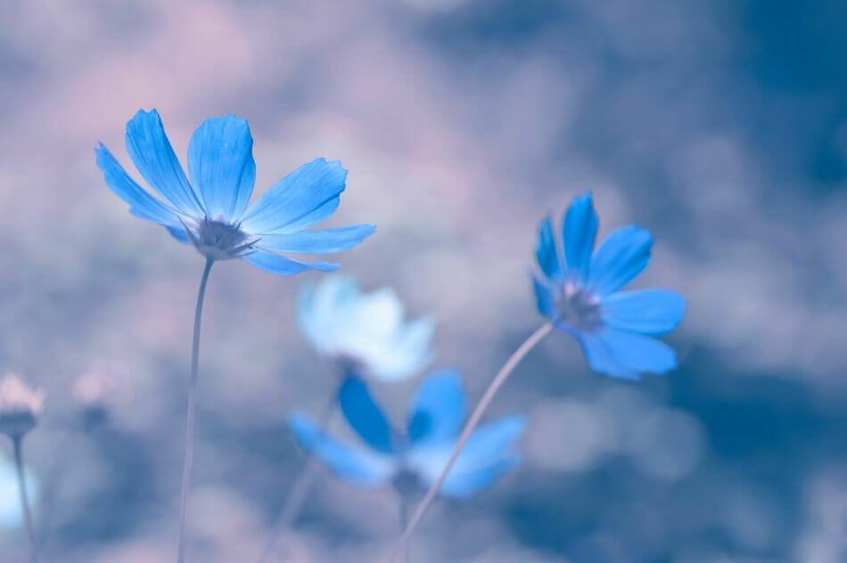 Blue cosmos (Cosmos bipinnatus)