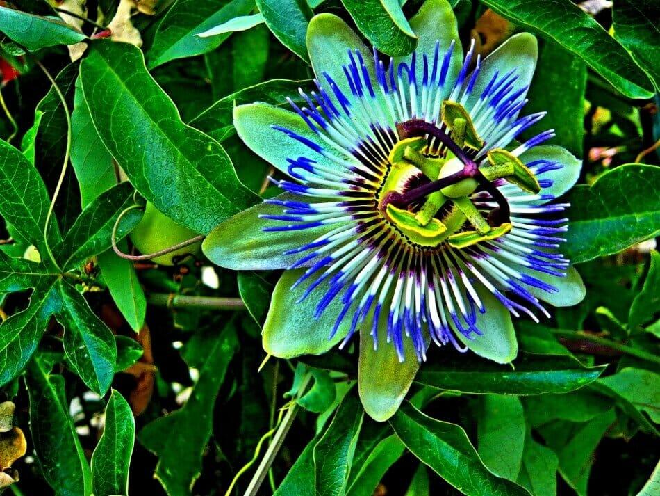 Bluecrown Passionflower (Passiflora caerulea)