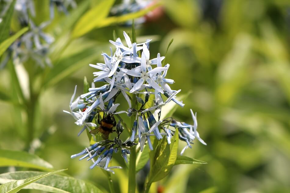Bluestar (Amsonia tabernaemontana)