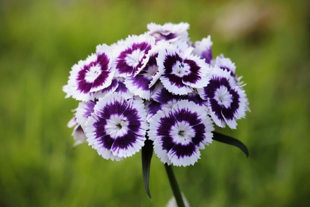 Botanical Characteristics, Colors, Fragrances