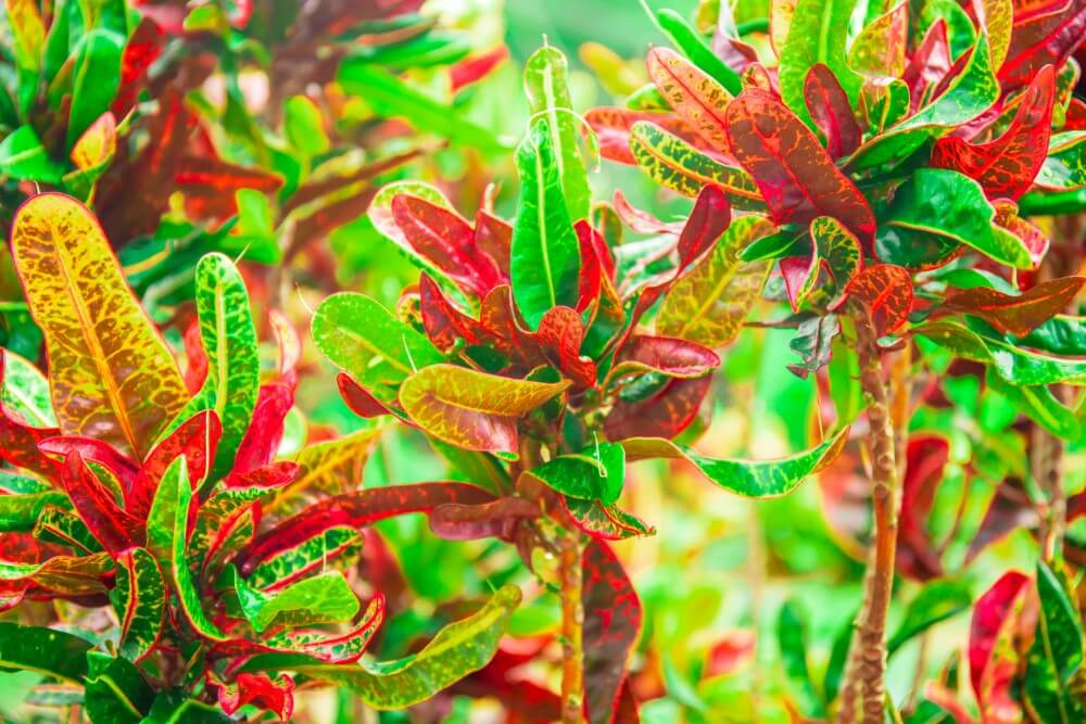 Bush on Fire Croton (Codiaeum variegatum 'Bush on Fire')