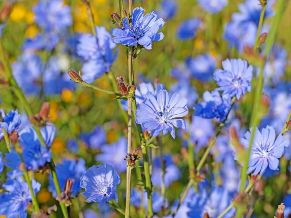 Chicory Flower, Blue Dandelion (Cichorium intybus)